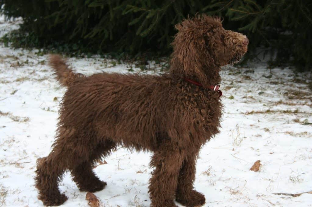 Perro barbet aguantando temperaturas