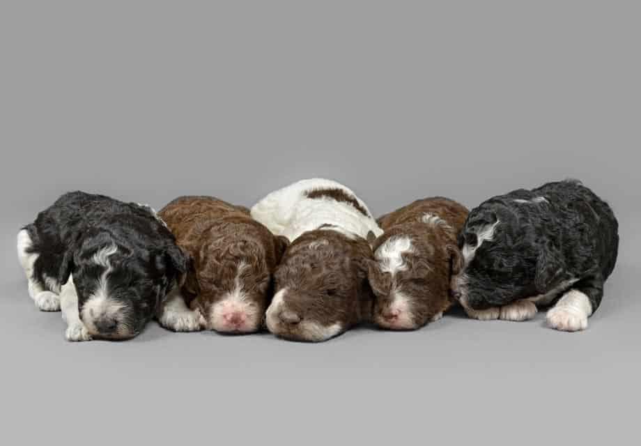 Cachorros del perro de aguas