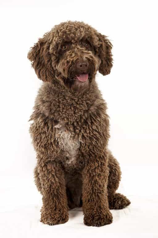 Perro turco con su pelaje