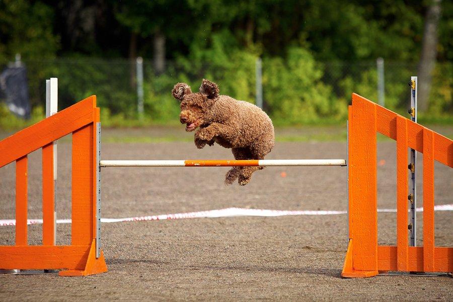 Perro de agua saltando en concurso