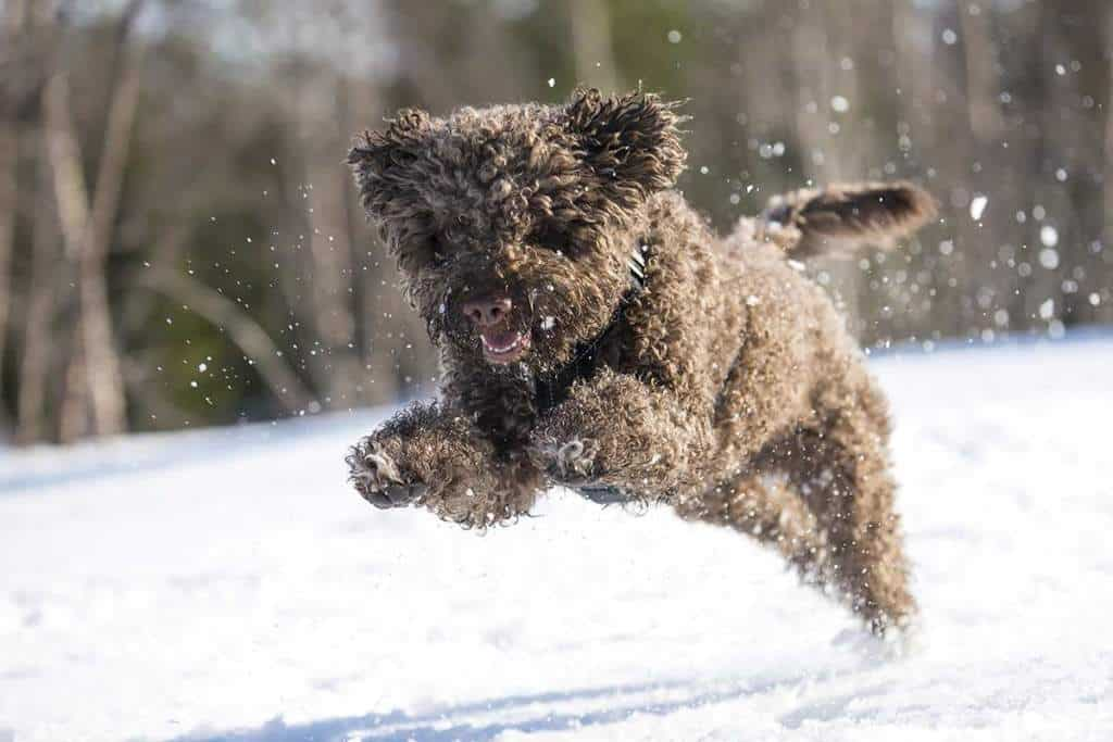 Pequeño cachorro de perro de agua