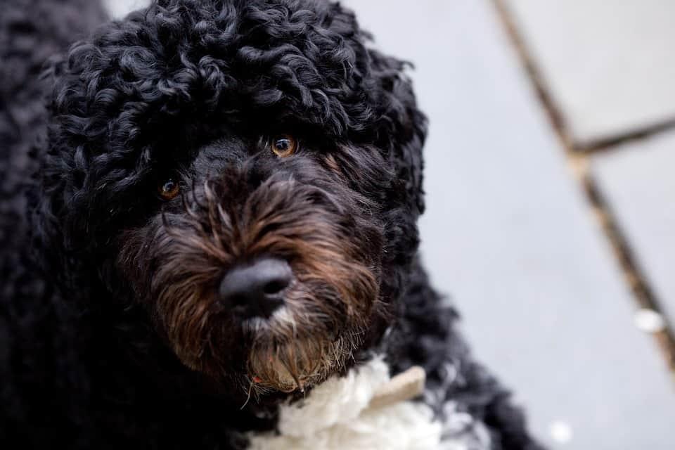 Un cachorro de la raza perro de agua portugues