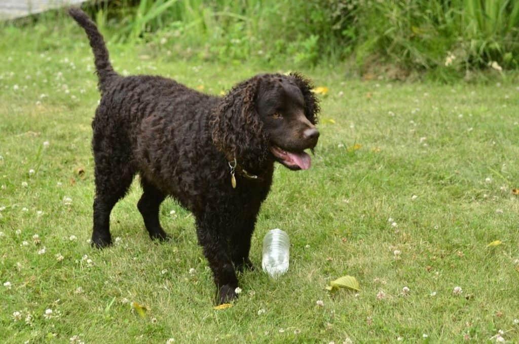 Perro de agua castaño