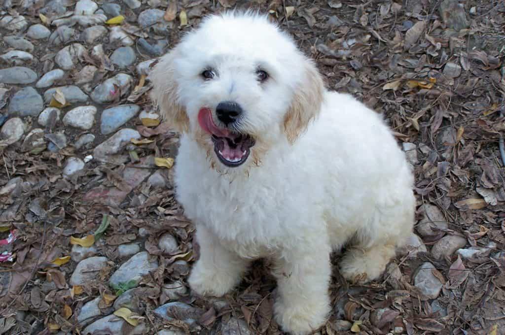Perro de agua cantábrico blanco