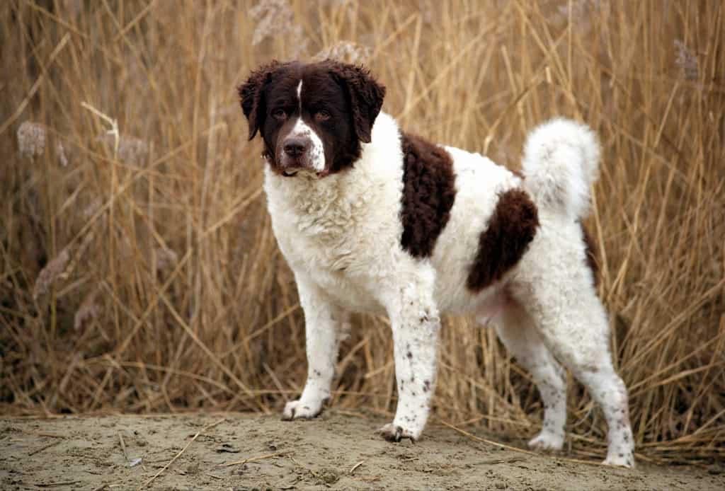 Perro de agua blanco y marron