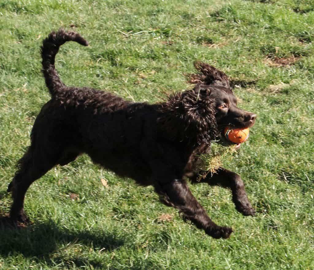 Perro de agua jugando con pelota