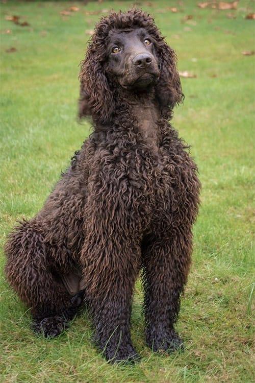 Perro de lanas con pelo marrón