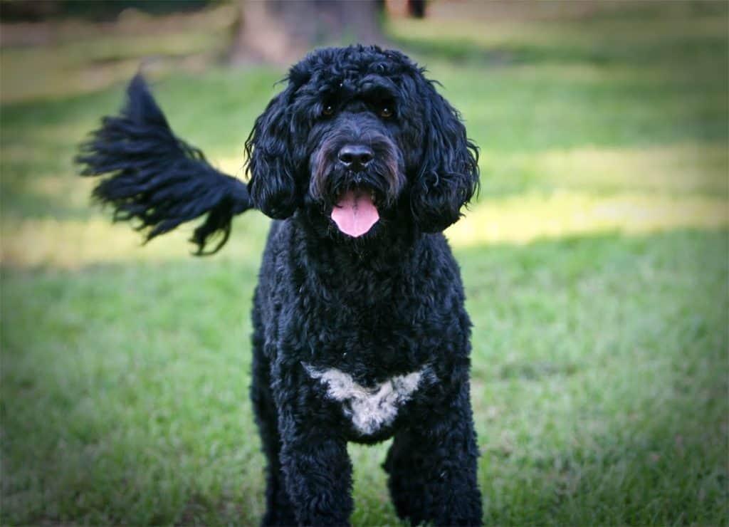 Un perro de agua portugués muy bien adiestrado