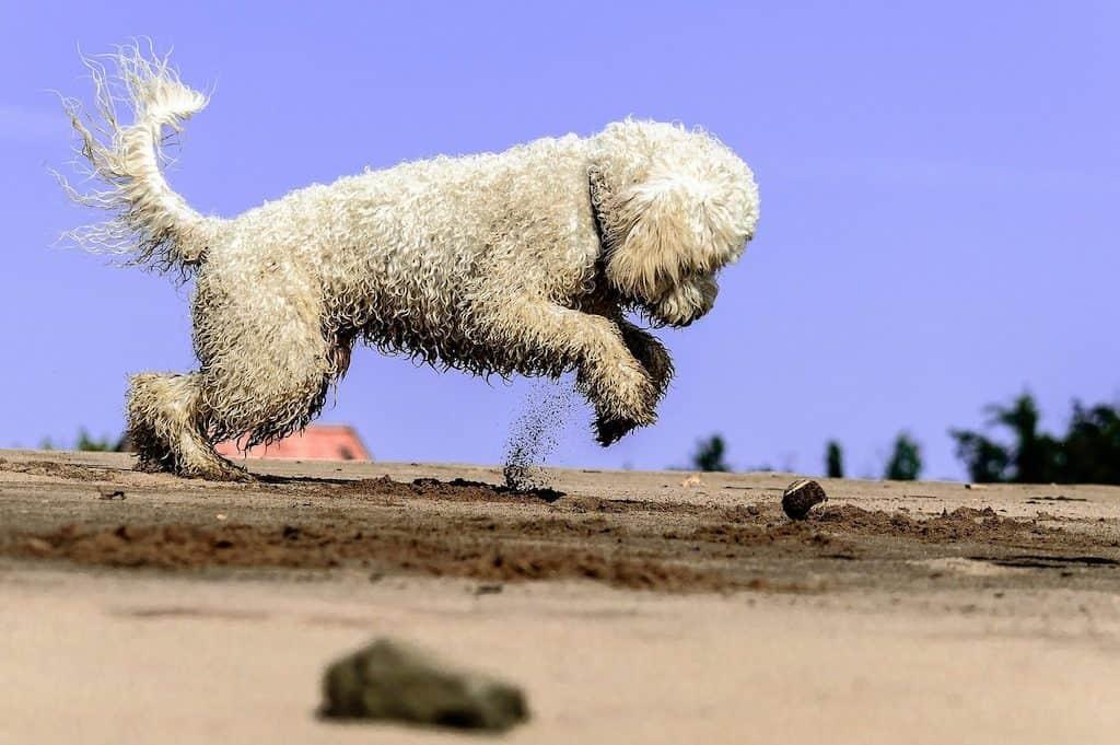 Perro de agua español de color blanco