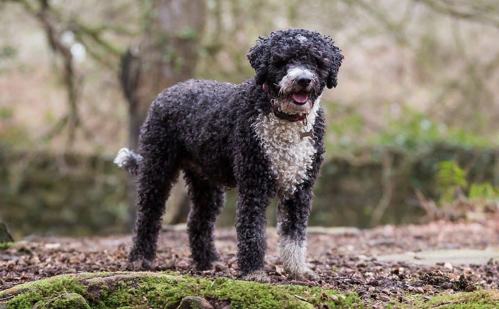 Perro de agua blanco y negro español