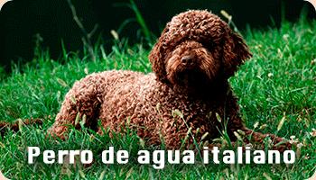 Perro de agua italiano información