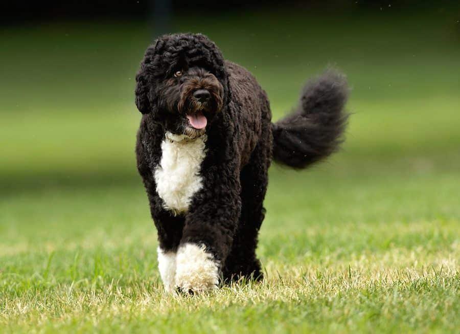 Perro de agua portugués de color negro
