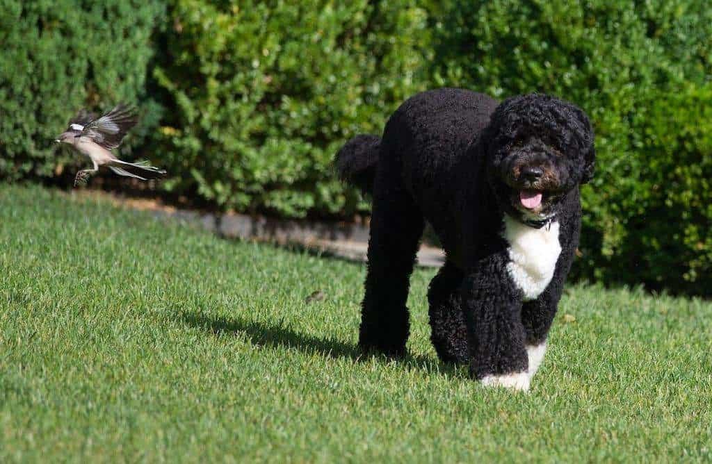 Perro de agua negro jugando