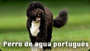 Perro de agua portugués información