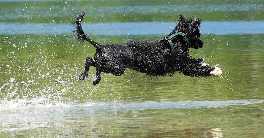 Un entrenamiento del perro de agua para su adiestramiento