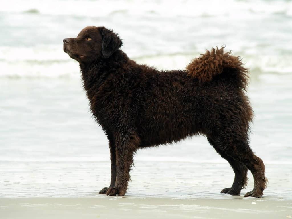 Perro frisón marrón oscuro