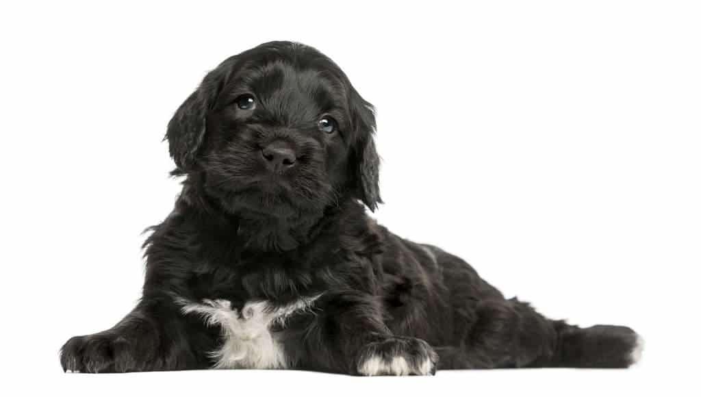 Cachorro del perro de agua portugues