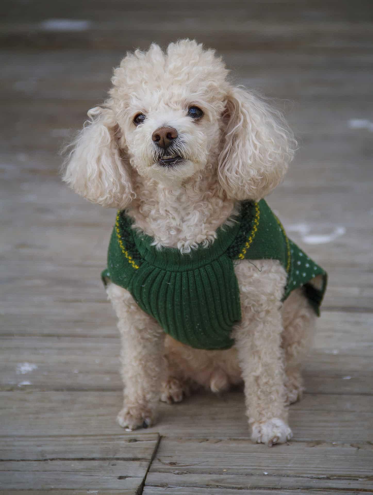 Perro caniche toy vestido