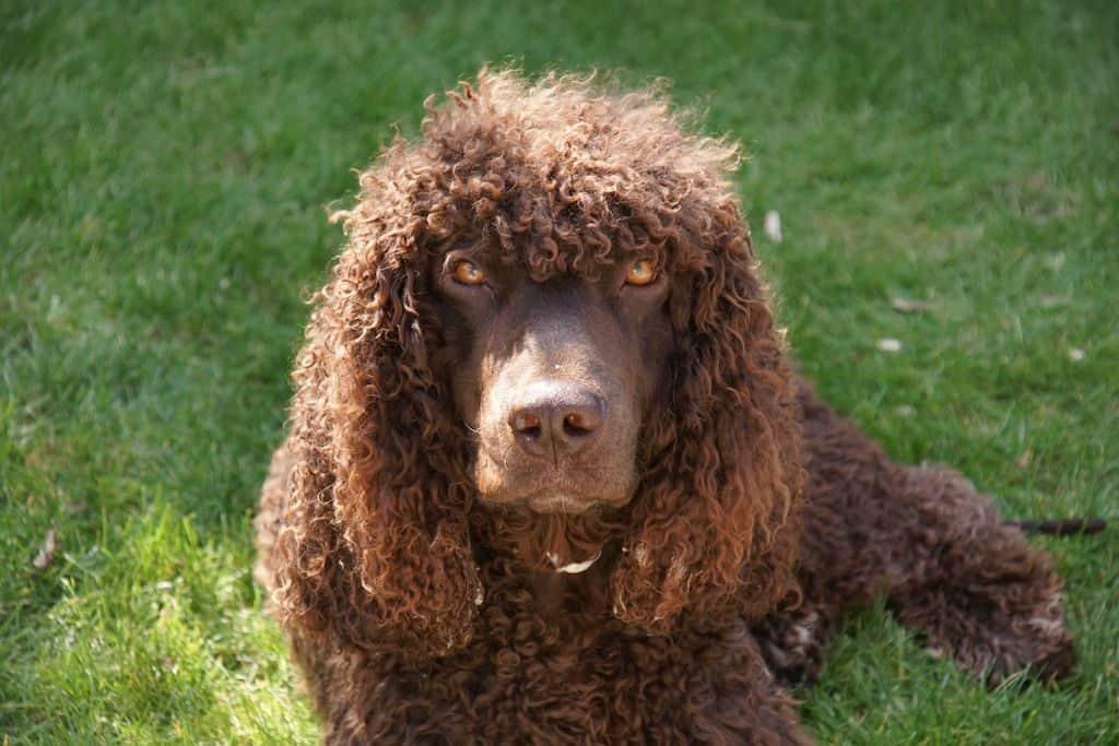Perro de agua marrón