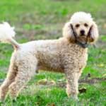 Perro de agua suelta mucho pelo