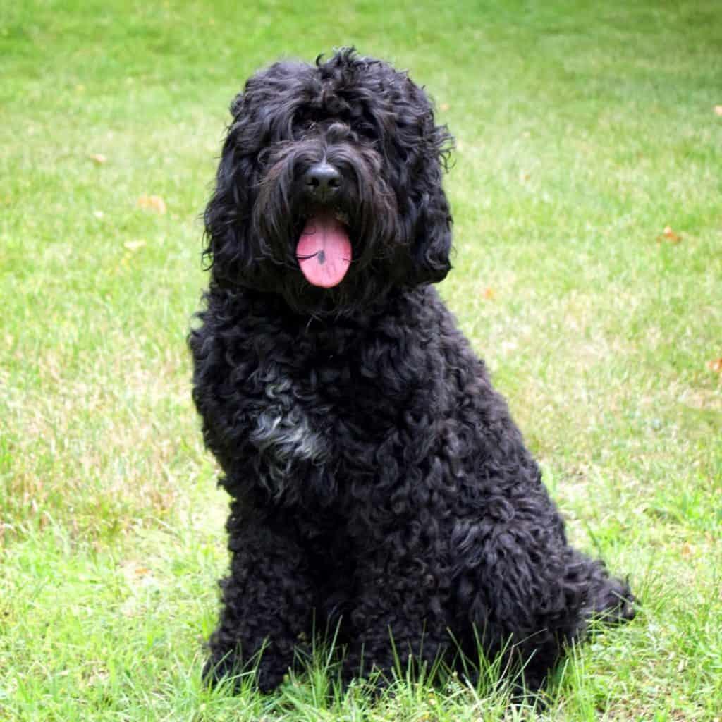 Perro de agua barbet