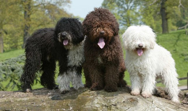 fotos de perros de agua