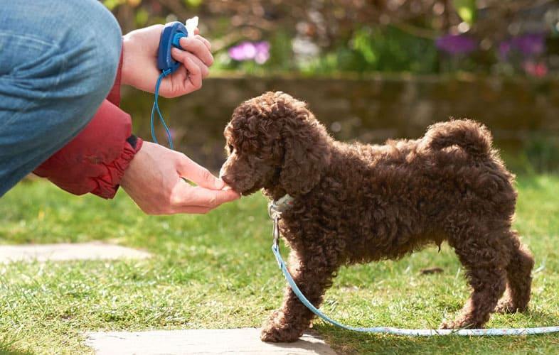 Foto de un cachorro de perro de agua marrón