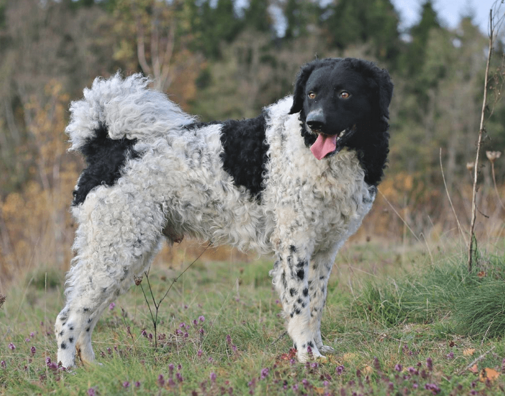 Perro de agua de color blanco con manchas negras