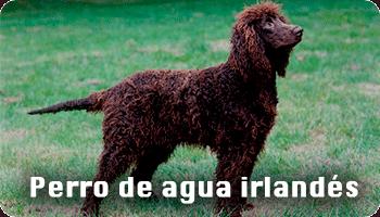 Perro de agua irlandés información