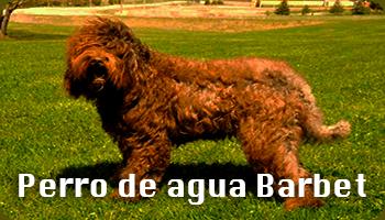 Foto perro barbet