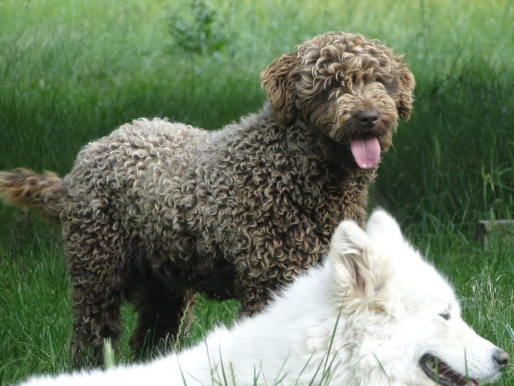 Perro turco de color marrón