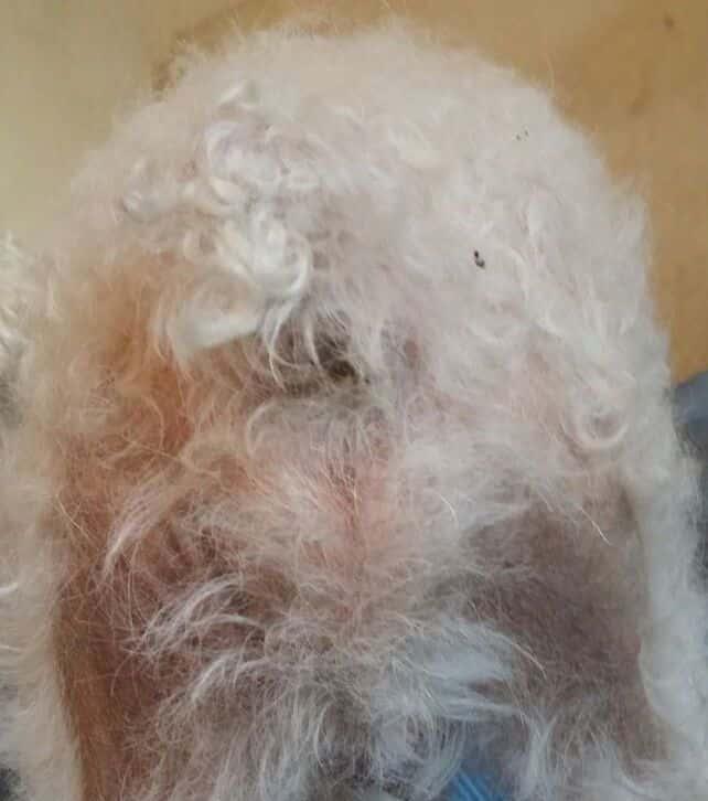 Perro de agua con pelo caído