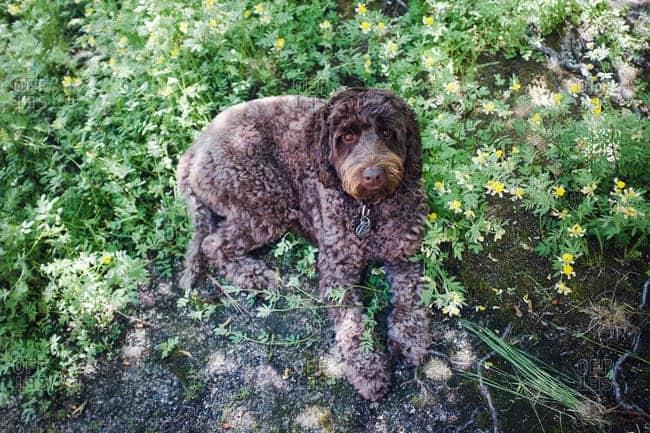 Cachorro de perro de agua español