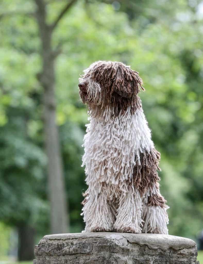 ¿Qué cortes de pelo para un perro pastor?