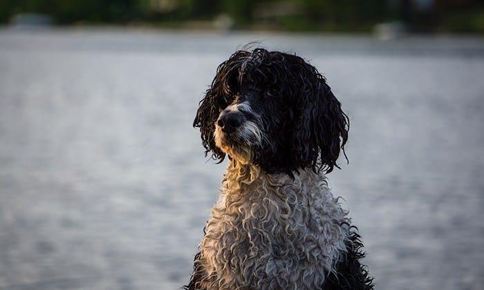 Porqué perro de agua se rasca mucho