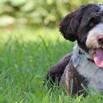 Cómo enseñar a un perro de agua a reconocer su nombre